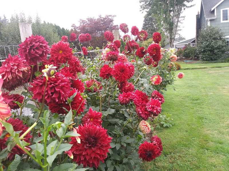 COURTESY PHOTO - Pictured are some dahlias in the Wells's yard.