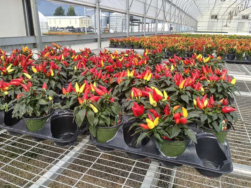 PMG PHOTO: JUSTIN MUCH - Ornamental peppers, which are edible and quite spicy, are among the plants often in demand during the fall.