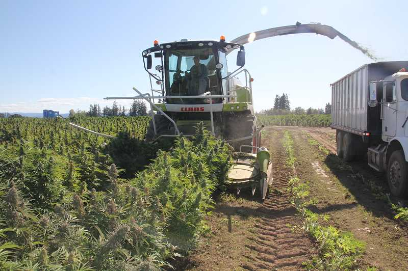PMG PHOTO: JUSTIN MUCH - Wooden Shoe Tulip Farm grew about 200 acres of hemp, twice what it grew a year ago. Crews use a forage harvester, left, flanked by a harvest truck to bring it in.