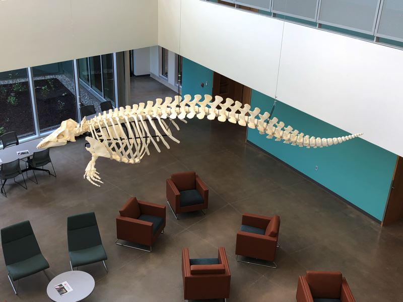 A replica of a baby beluga whale skeleton hangs in the student study area of DeJardin Hall.