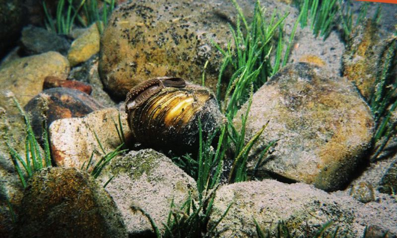 COURTESY PHOTO - Freshwater mussels live in the Tualatin River basin, but many populations across the United States are threatened or endangered due to changing environmental conditions.