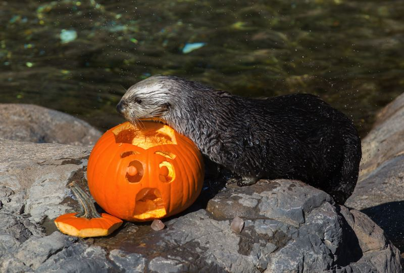 COURTESY PHOTO: OREGON COAST AQUARIUM - Sea otters and people are celebrating the Halloween season at the Oregon Coast Aquarium.