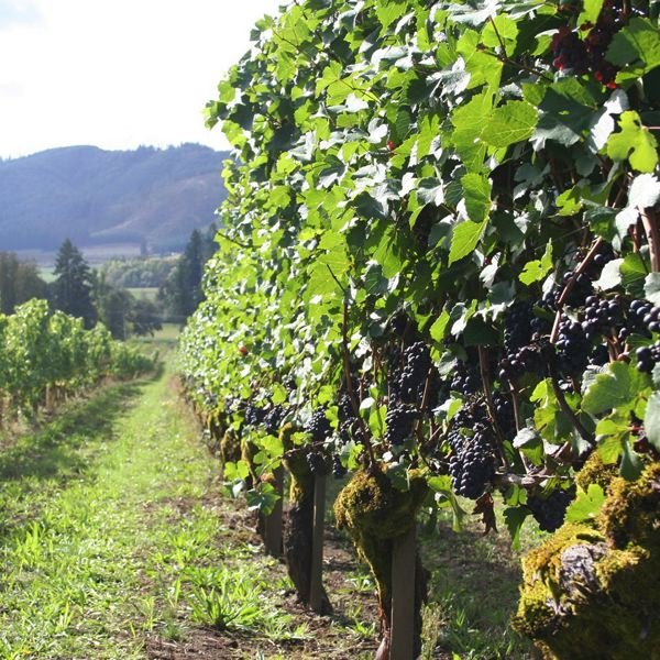 COURTESY PHOTO: DONNA STONEY - Abbey Creek Vineyards near North Plains is where Donna Stoney got her start in winemaking.