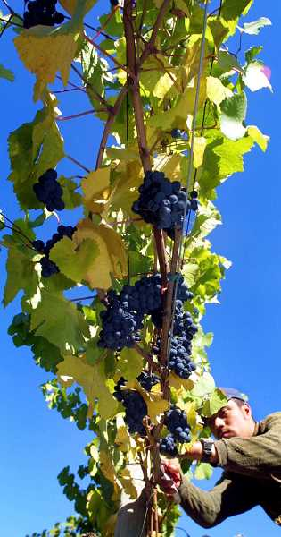 PMG FILE PHOTO - Warming temperatures at harvest time have been a positive thing, vintners say, as the grapes are ready to pick a little earlier than before.