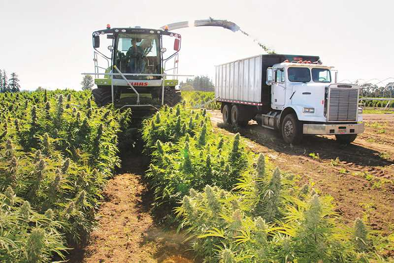 INDEPENDENT PHOTO: JUSTIN MUCH - Crews use a forage harvester, flanked by a harvest truck, to deliver hemp for processing at Wooden Shoe Tulip Farm.