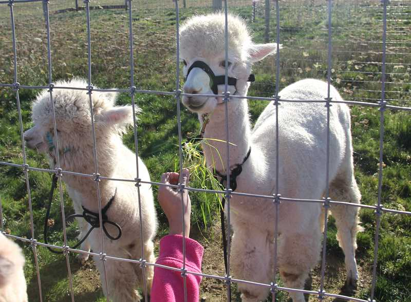PMG PHOTO: JUSTIN MUCH - A pair of alpacas were a hit during the Gervais FFA Elementary School Community Pumpkin Patch on Thursday, Oct. 30.