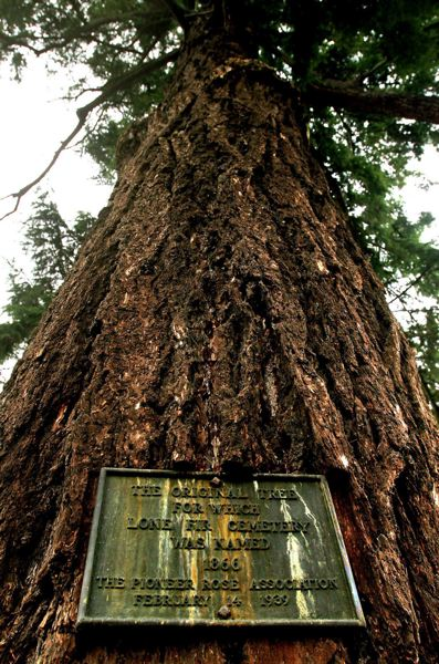 PMG FILE PHOTO - The tree that gave the Lone Fir Cemetery its name.