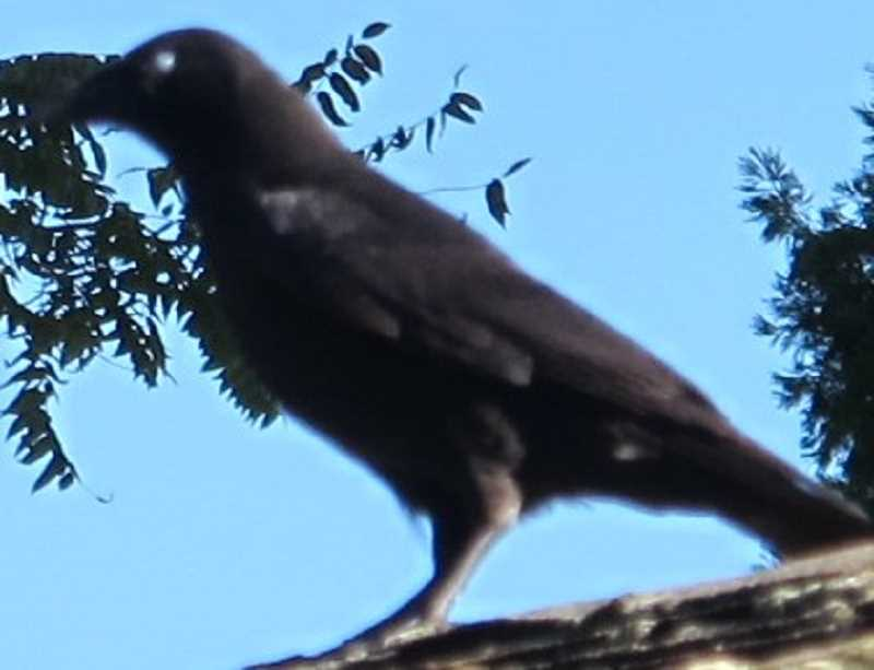 Have you seen all those crows bedding down on the branches?