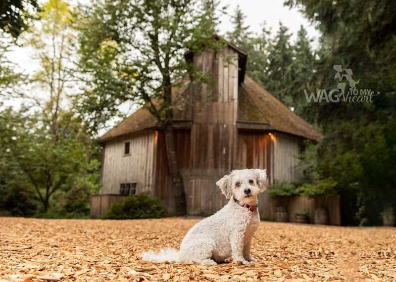 COURTESY PHOTO: DANYEL ROGERS, WAG TO MY HEART PHOTOGRAPHY - A dog striking a pose for the Dogs of Hillsboro photo contest and 2020 calendar. The calendar will be available for purchase on Wednesday, Nov. 13.
