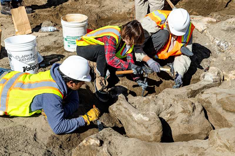 LON AUSTIN/FOR THE PIONEER - It took Eastern Oregon University students, about 30 in total, and instructors from both the anthropology and biology departments at the school four days to excavate the remains of a mammoth found near Prineville.