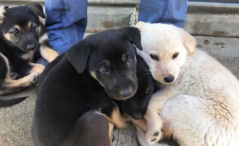 SUBMITTED PHOTO - Four German shepherds and a Great Pyrenees puppy were first reported abandoned in Newberg, but it was soon discovered they were not.