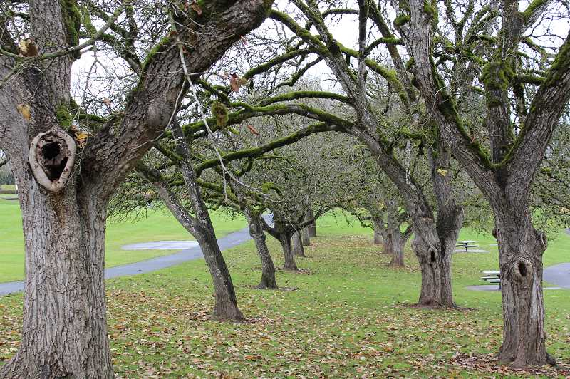PMG PHOTO: COREY BUCHANAN - These walnut trees in Wilsonville were recently named state heritage trees by the Oregon Travel Information Council.