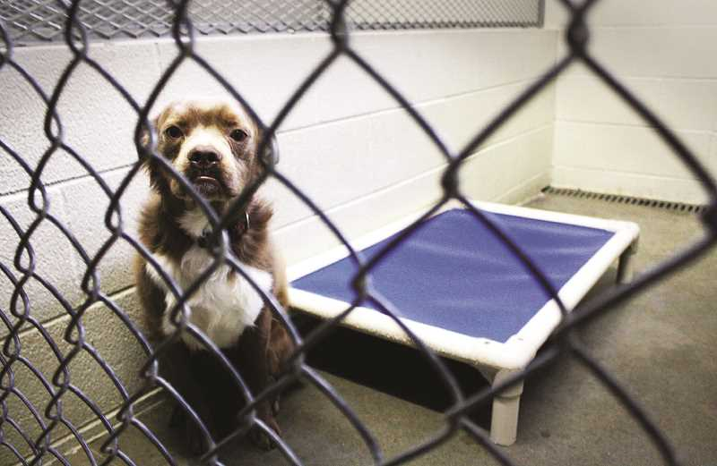 PMG FILE PHOTO - Stray dogs found in Newberg can end up at the local animal shelter and can be put up for adoption.