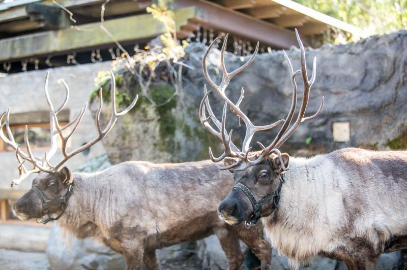 COURTESY PHOTO: MICHAEL DURHAM / OREGON ZOO. - Cookie and Ginger, two Siberian reindeer, arrived at the Oregon Zoo this week. Photo by Michael Durham, courtesy of the Oregon Zoo.