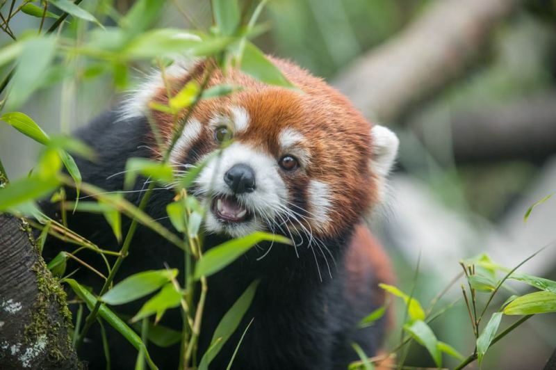 COURTESY PHOTO: MICHAEL DURHAM/OREGON ZOO - Moshu, a 7-year-old red panda, joined Mei Mei at the Oregon Zoo this week.