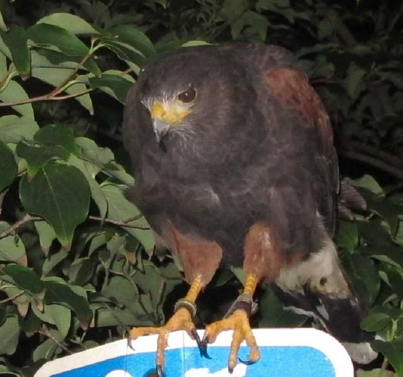 Clive is a two-year-old Harris Hawk who has become a familiar sight at night in downtown Portland.