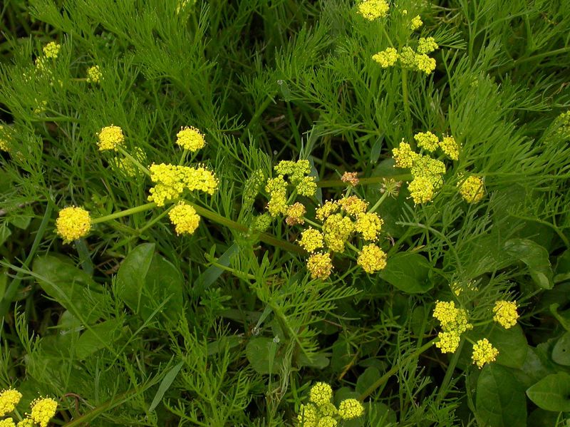 COURTESY PHOTO - Bradshaw's lomatium thrives in low elevations, especially prairies that are regularly flooded.