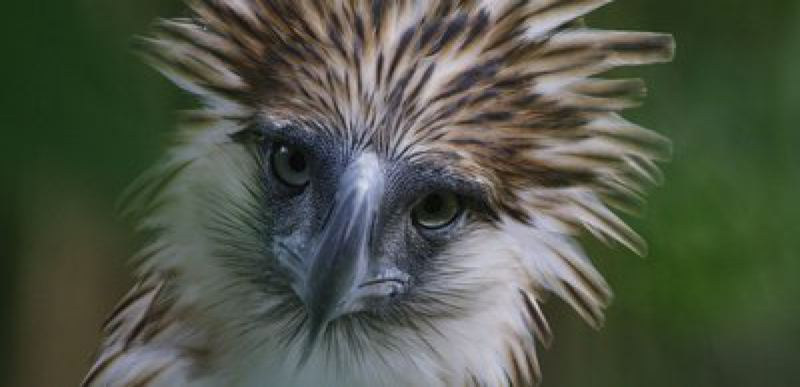 COURTESY PHOTO: HOLLYWOOD THEATRE - 'Bird of Prey' shows at Portland Audubon Nature Night, Dec. 1 at Hollywood Theatre.