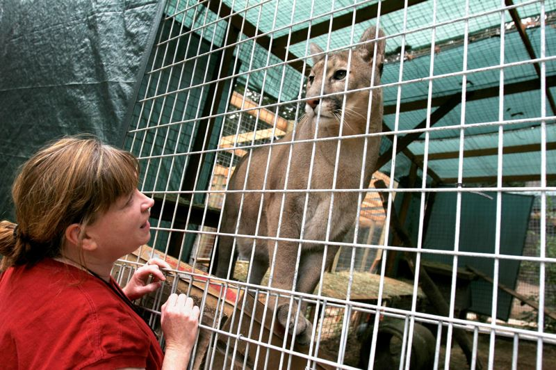 PMG FILE PHOTO - Cheryl Tuller, co-founder of WildCat Haven Sanctuary near Sherwood, visits with a cougar in the sanctuary's care. The sanctuary has since moved to Marion County.