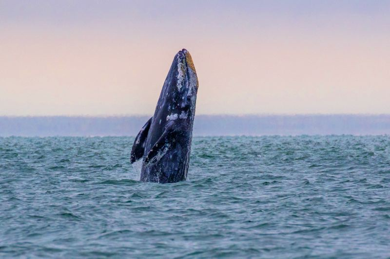 COURTESY PHOTO: OREGON STATE PARKS - Migrating gray whales pass by the Oregon Coast in the next week, and people gather at Cape Disappointment and elsewhere to watch them. It's estimated that about 30 whales pass by the coast per hour