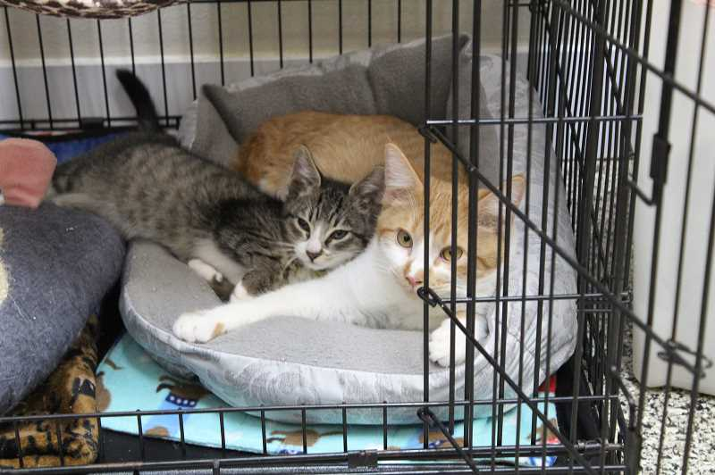 DESIREE BERGSTROM/MADRAS PIONEER - Three Rivers Humane Society is looking for help caring for animals and donations to spay and neuter cats.