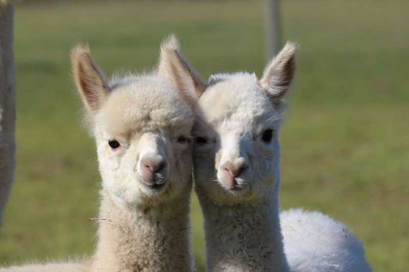 OREGON'S MT HOOD TERRITORY  - Looking for winter activities for the family? Visit the alpacas at Marquam Hill.