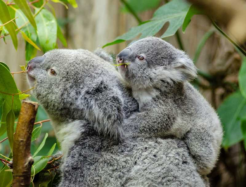DREAMSTIME IMAGE - Millions of Australian animals, including the native koala, have been killed, either by burning or smoke inhalation, in the bushfires that have scorched the country since September. Many other animals have been injured and have suffered massive habitat loss.