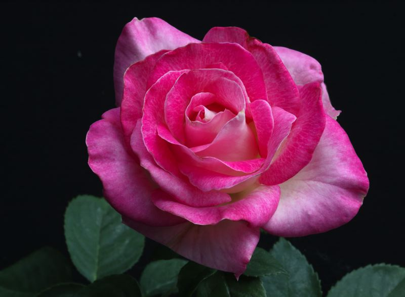 COURTESY PHOTO - Princess Power is the official Rose Festival rose.