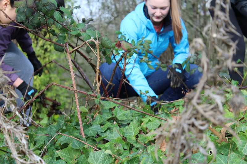 PMG PHOTO: ASIA ALVAREZ ZELLER - Blackberry bushes and ivy cause harm to open space on LOHS  grounds.