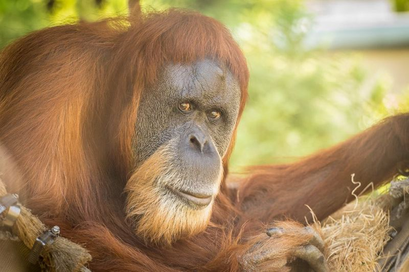 COURTESY PHOTO: MICHAEL DURHAM / OREGON ZOO - Inji, a Sumatran orangutan, turned 60 this month and is one of the oldest of her species on the planet. Photo by Michael Durham, courtesy of the Oregon Zoo.