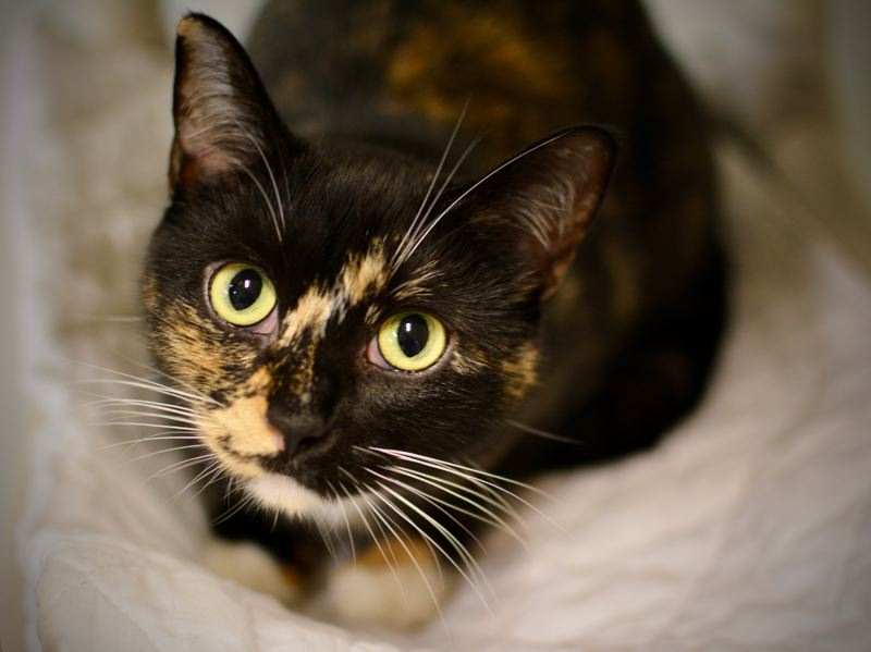 COURTESY PHOTO: CAT ADOPTION TEAM - Slinky, now called Mrs. Bigglesworth, is a calico cat with feline leukemia who became the Cat Adoption Teams 50,000th cat successfully adopted out to a forever home.
