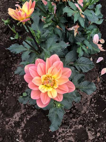 PMG PHOTO: KRISTEN WOHLERS - Pictured is Nick Gitts's 'My Forever' dahlia.