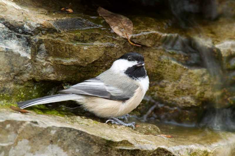 COURTESY PHOTO: MISSOURI DEPARTMENT OF CONSERVATION - Both black-capped chickadees (shown) and nuthatches use mobbing calls — calls that tell other nearby members of their species that theyve observed a predator and want help to scare it away by mobbing it.