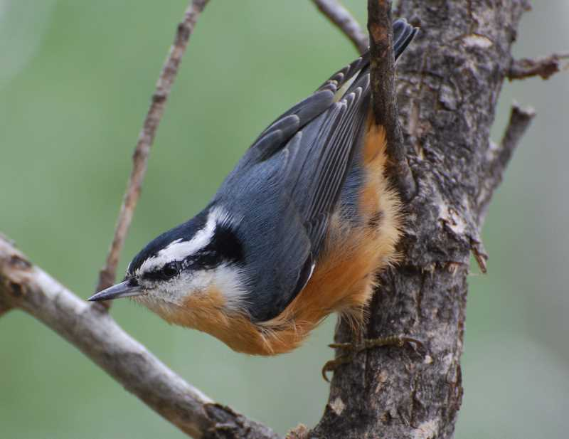 COURTESY PHOTO: IDAHO DEPARTMENT OF FISH AND GAME - A red-breasted nutchatch. A 2007 suggests that when nuthatches hear warning calls from chickadees about dangerous owls, they do recognize them, but will often go to the source to assess the threat level themselves instead of immediately warning other nearby nuthatches.