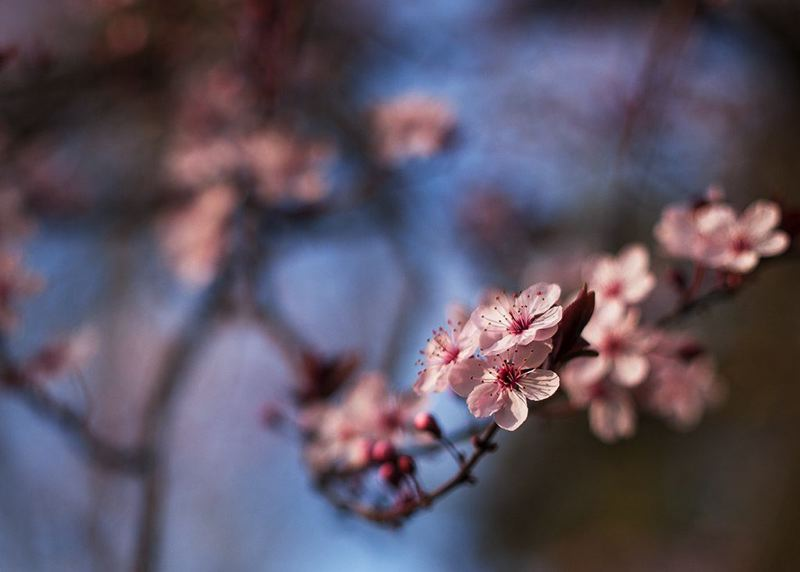 PMG FILE PHOTO - Flowering cherry trees abound in central Wilsonville, near Sherwood.