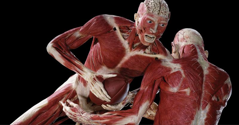 COURTESY PHOTO - For the third time, Oregon Museum of Science and Industry plays host to a 'Body Worlds' exhibit. The plastination process produces a striking body image: Natural fluids in the specimen are replaced with liquid reactive plastics that are hardened and cured with gas, light or heat.