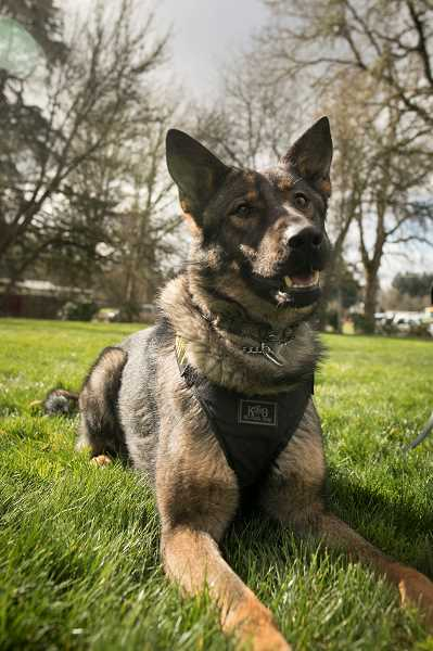 PMG PHOTO: JAIME VALDEZ - K-9 Bolo takes a break at Bicentennial Park in Hillsboro. The canine was certified late last month to hit the streets with the Washington County Sheriffs Office.