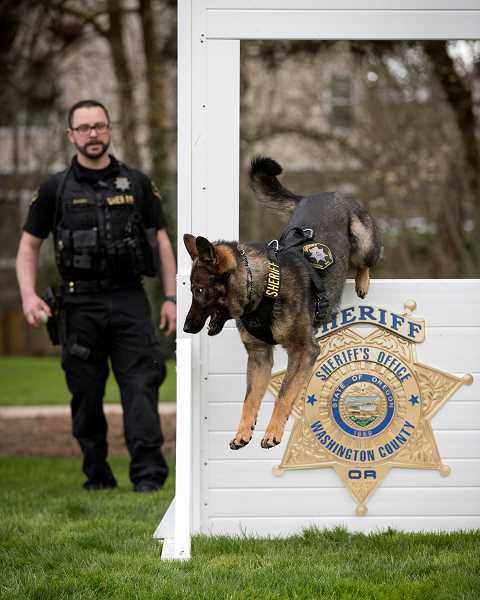 PMG PHOTO: JAIME VALDEZ - K-9 Bolo shows off his hops in front of his handler Michael Zaugg. The two have bonded since last November and are ready to hit the streets of Washington County.
