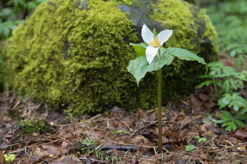Trillium are a native wildflowers which grow in Oregon forests.
