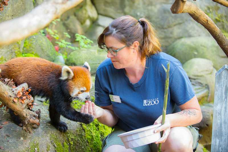 COURTESY PHOTO: OREGON ZOO/MICHAEL DURHAM - Red Panda Mei Mei with keeper Sara Morgan at the Oregon Zoo. While the zoo is closed to the public for now, keepers are still on site taking precautions to care for the zoo's primates, which may be susceptible to COVID-19.
