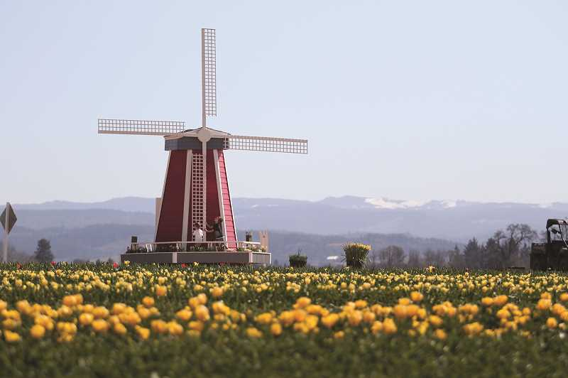 PMG PHOTO: PHIL HAWKINS - A pair of boys play on a windmill in the tulip fields at Wooden Shoe Tulip Farm in the days before the 36th annual Tulip Fest was officially canceled. The Tulip Fest was scheduled to open on Friday, March 20 and run through May 3.