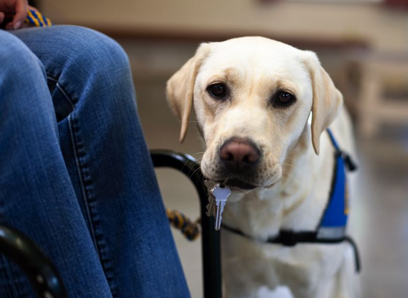 COURTESY PHOTO: CANINE COMPANIONS FOR INDEPENDENCE - Want a reason to smile? Canine Companions for Independence is debuting a puppy cam Monday on its website, National Puppy Day. A service dog retrieves keys in this photo.