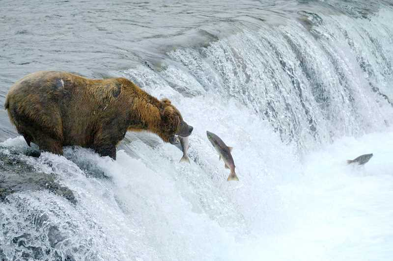 Watch Alaska's bears catch fish trying to get upriver to spawn with a live nature stream.