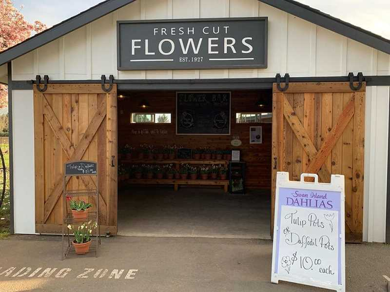 COURTESY PHOTO: SWAN ISLAND DAHLIAS - Swan Island is asking customers to obvserve social distancing when visiting to purchase tulips.