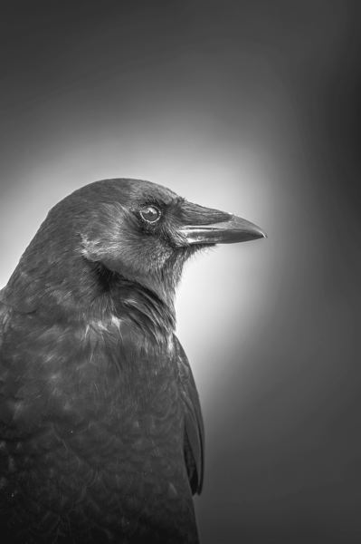 PMG PHOTO: KEITH SHEFFIELD - Some people like the crows, some people see them as a nuisance.