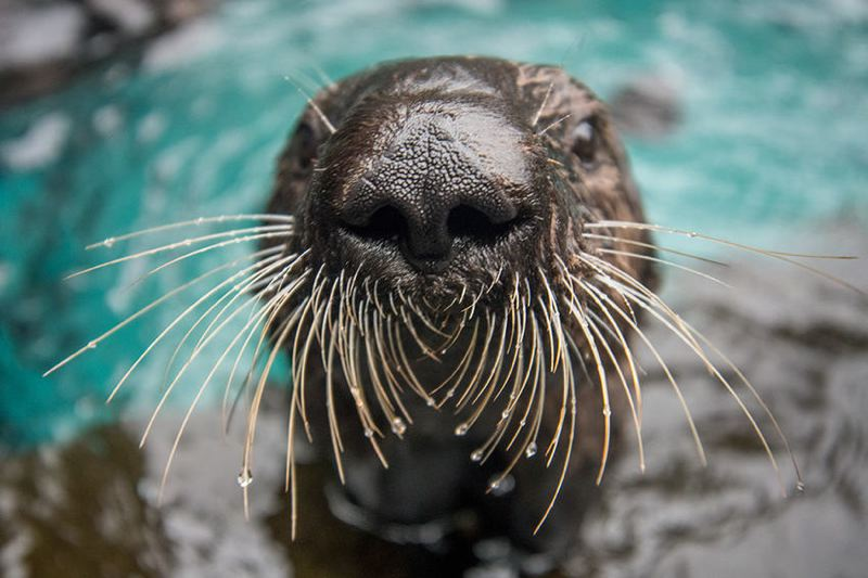 COURTESY PHOTO: OREGON ZOO - Because it's closed, the Oregon Zoo is posting live videos of animals doing their thing each week, including sea otters.