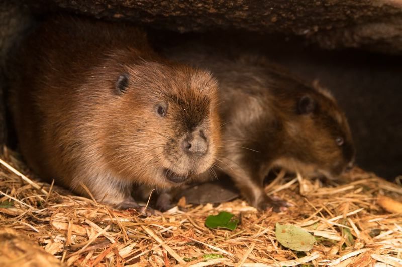 COURTESY PHOTO: MICHAEL DURHAM/OREGON ZOO - Maple, a 3-year-old North American beaver, joined Filbert in his Cascade Crest habitat at Oregon Zoo.