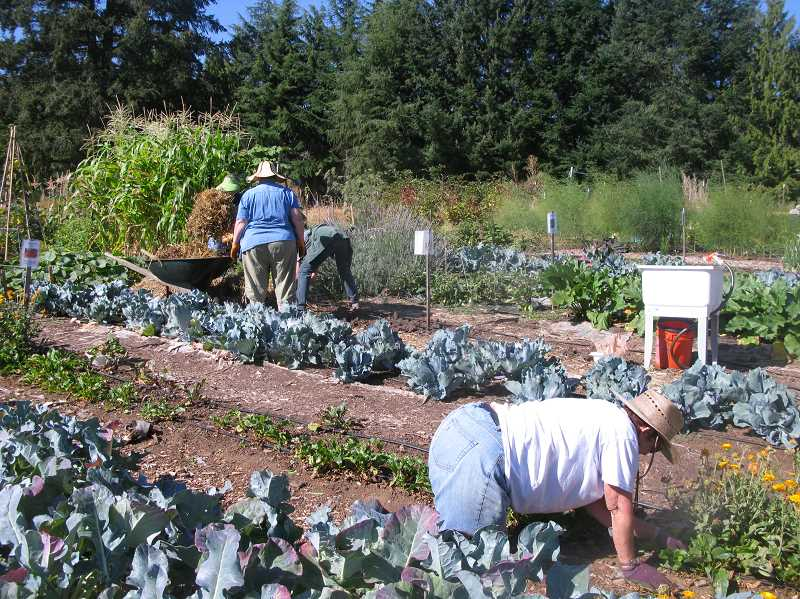 PMG FILE PHOTO: RAYMOND RENDLEMAN - In past years, Clackamas Countys OSU Master Gardeners worked together to grow extra produce on the community college property for donating to food banks in Oregon City.