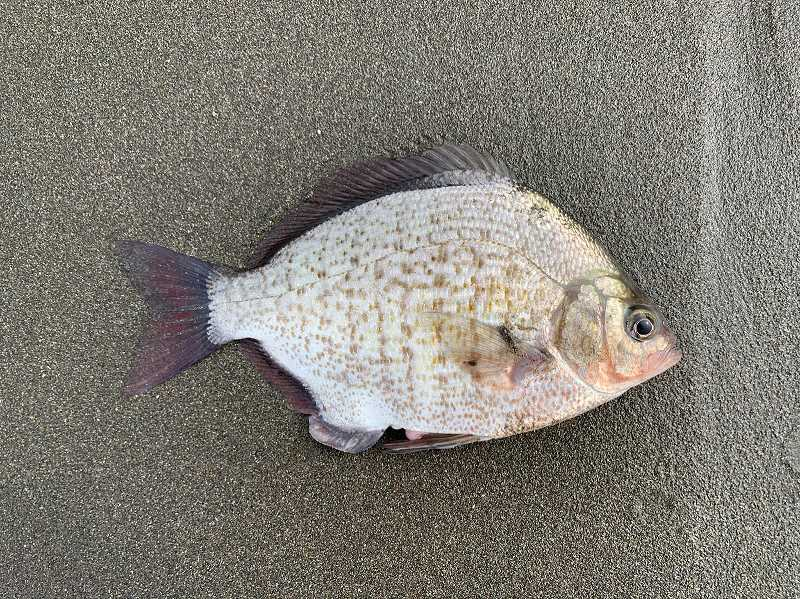 COURTESY PHOTO: LUKE OVGARD - Calico surfperch are fairly rare, and are typically found only in extreme southern Oregon and extreme northern California.