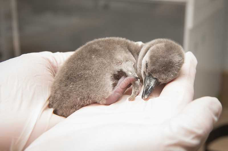 PHOTO BY SHERVIN HESS, COURTESY OF THE OREGON ZOO - This fluffy penguin chick hatched early in the morning of March 23 at the Oregon Zoo.